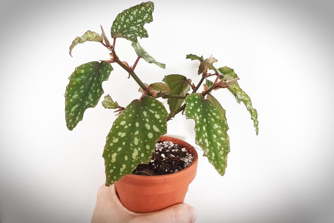begonie korálová